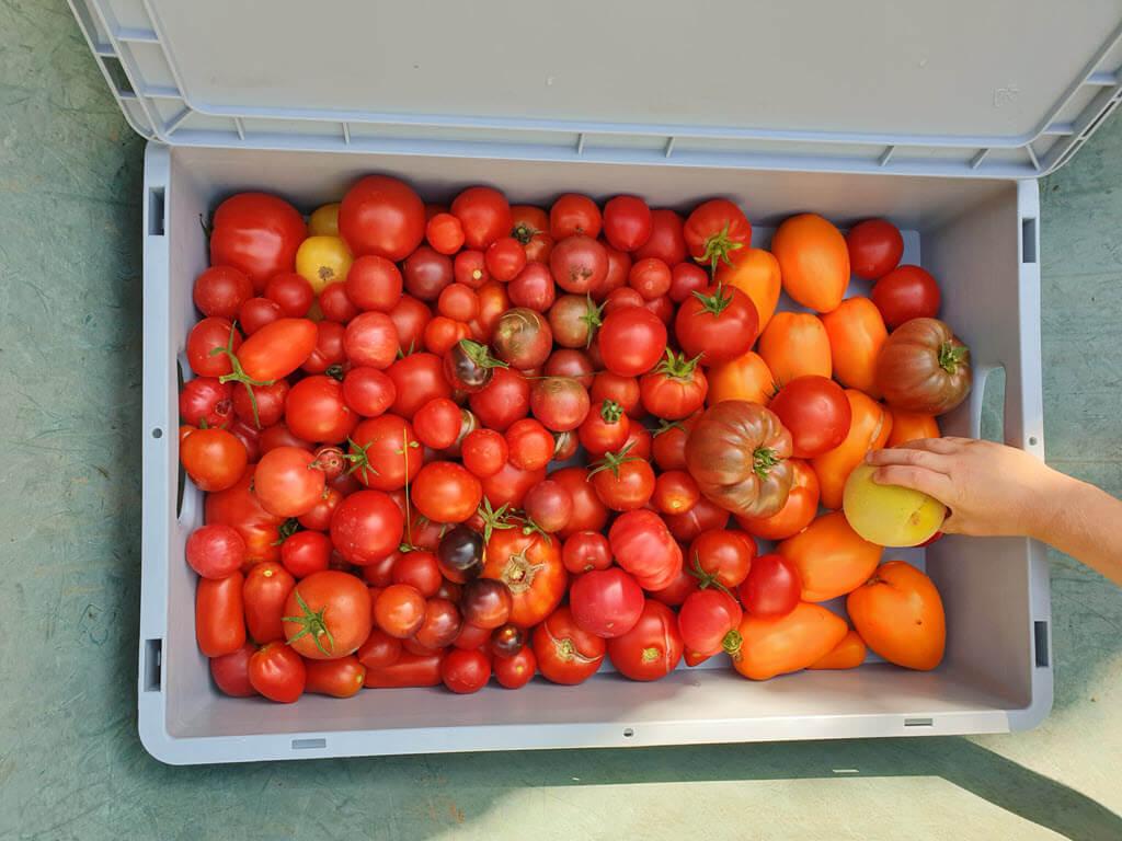 Rijpe tomaten in alle soorten en kleuren